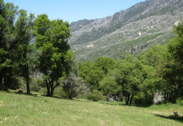 Interior Live Oaks Quercus wislizenii