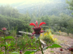 Red bee balm (2)