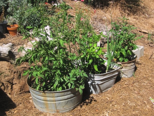 Five galvanized tubs with cherry tomatoes, onion and red romaine