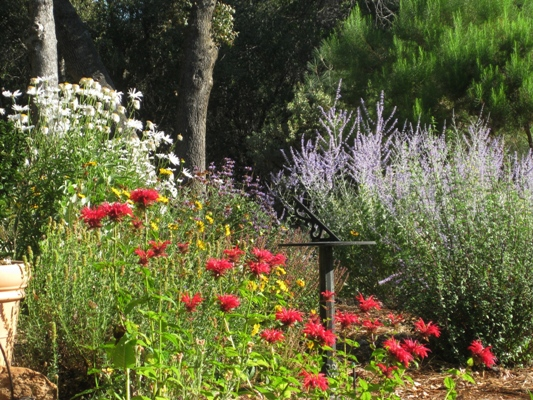 Shasta daisies, Monarda and Russian sage