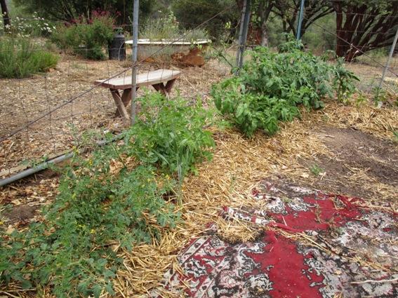 Tomato porgress, planted mid April