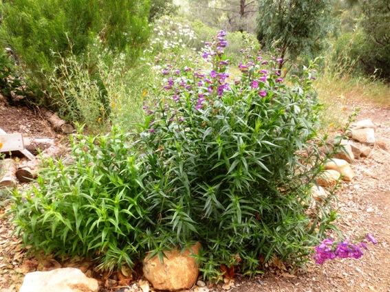 Evergreen Penstemon 'Midnight'