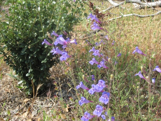 Penstemon heterophyllus Foothill Penstemon