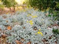 2010-9-september-garden-210-helichrysum-petiolare-moes-silver