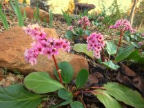 Bergenia crassifolia in bloom