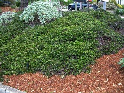 Manzanita 'Emerald Carpet', Arctostaphylos (CA native)
