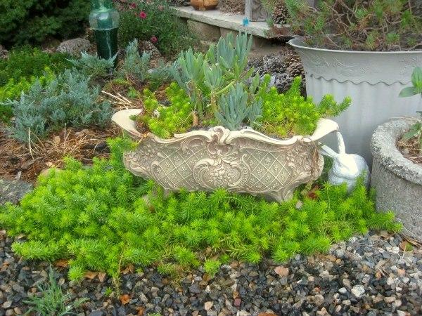 Sedum rupestre 'Lemon Coral' succulent