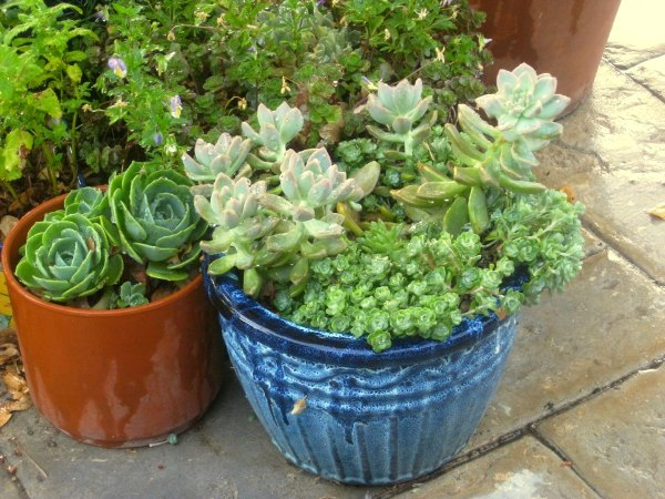 Three succulents in three different shapes, white sedum, ghost plant and echeveria, all planted with cuttings
