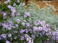 New England Tall Asters