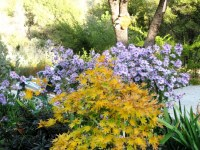 Japanese Maple and Asters