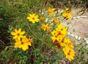 Mexican Marigold blooms in November
