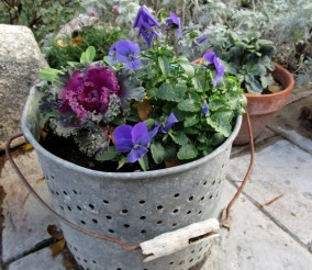 Ornamental Cabbages and violas can be planted as soon as the night time temps go below 50º
