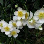 Carpenteria californica, California Anemone