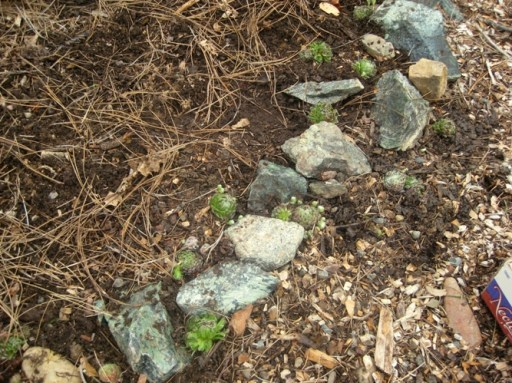 Starting with the rock edge where the bucket once stood, some hens and chicks are replanted