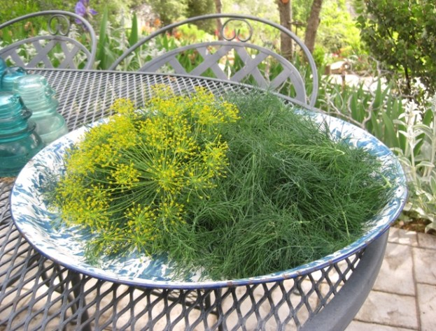 Harvested dill, enough for a whole lotta salmon