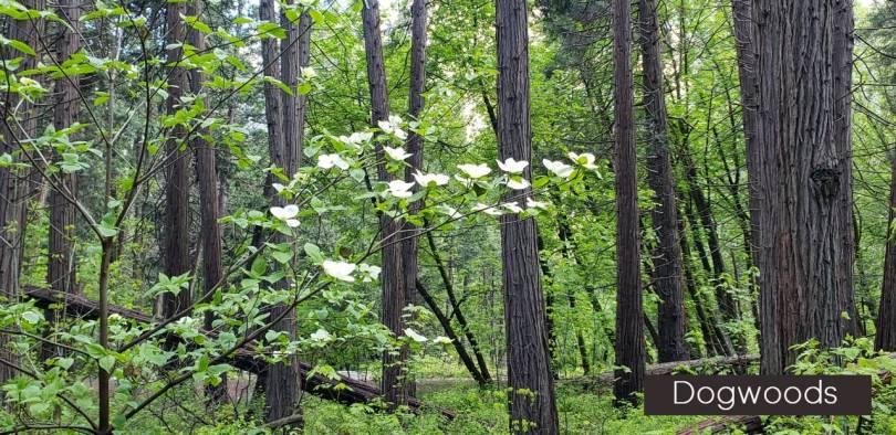Dogwoods in Bloom in Yosemite Valley