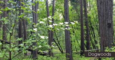 Dogwoods in Bloom in Yosemite Valley