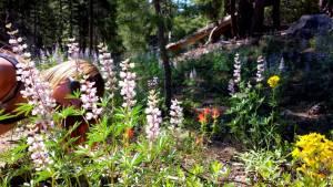 Wildflowers in the Sierra