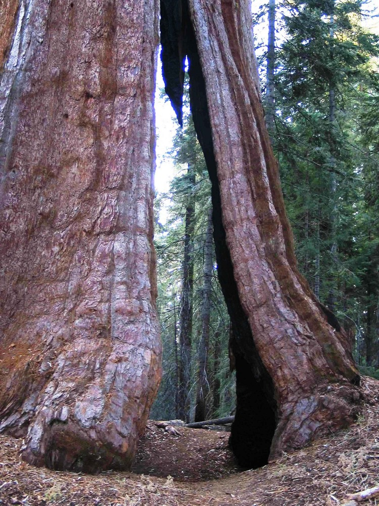 passthrough tree sequoia NPS public domain
