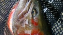 Huge head of cutthroat with slashes in the throat