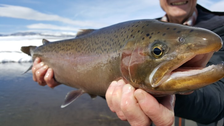 Huge male rainbow trout from the Upper Owens River