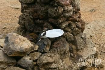 Пикник на Тенерифе — дятел пьет воду