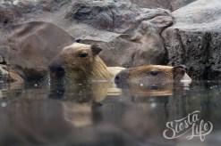 питомцы капибары в Лоро-парке