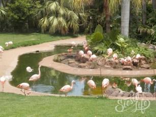 Лоро-парк: фламинго