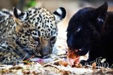 маленькие ягуары в Лоро парке