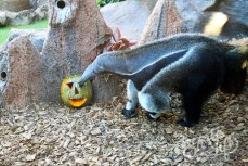 муравьед празднует Хеллоуин в в Лоро-парке