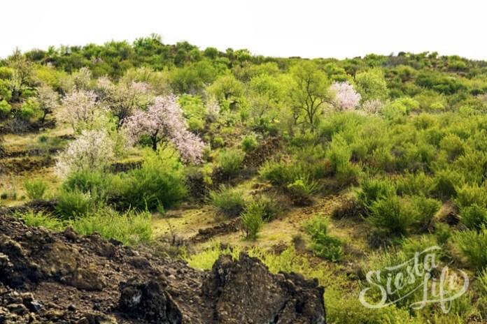 Далёкие деревья цветущего миндаля на Тенерифе