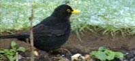 blackbird198x90