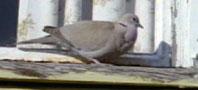 collared_dove198x90