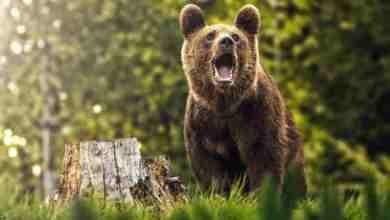 Photo of Harghita: Un urs care a intrat în curtea unui liceu din Miercurea Ciuc a fost împușcat.
