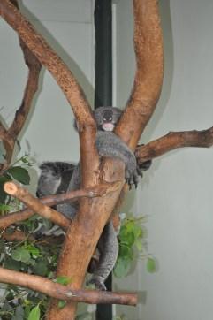 31Dec09: Smacked Koala @ Featherdale Wildlife Park