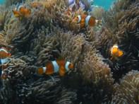 Gaya Island: Nemo!