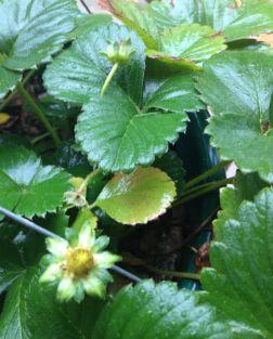 strawberries9-24