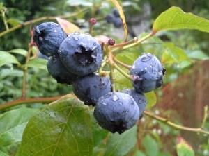 bilberry-american-445094_640