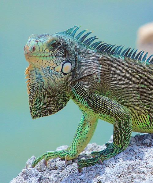 Symbolic Meaning of Iguana on Whats-Your-Sign com