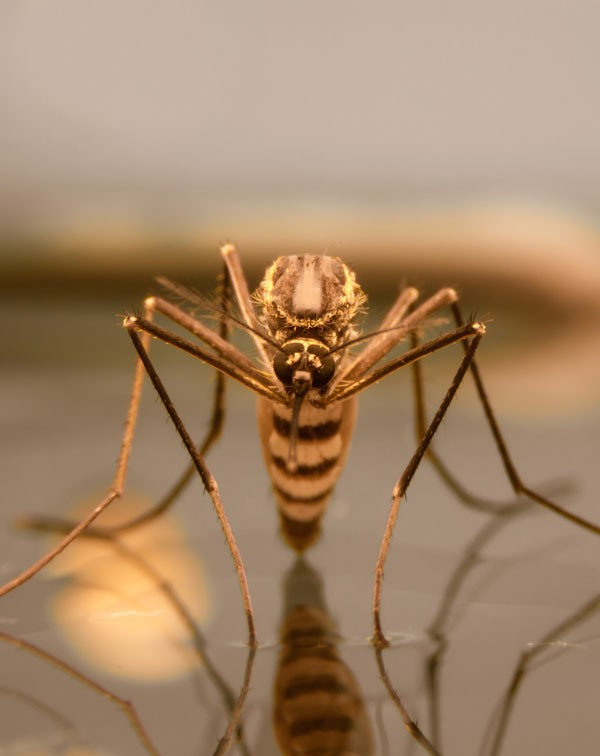 Symbolic Mosquito Meaning - Whats-Your-Sign com