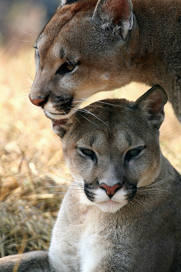 Symbolic Puma Meaning And Puma Totem On Whats Your Sign