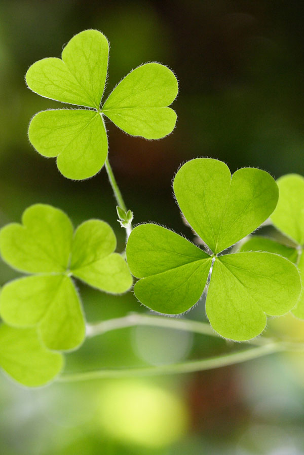 Symbolic Shamrock Meaning On Whats Your Sign Com