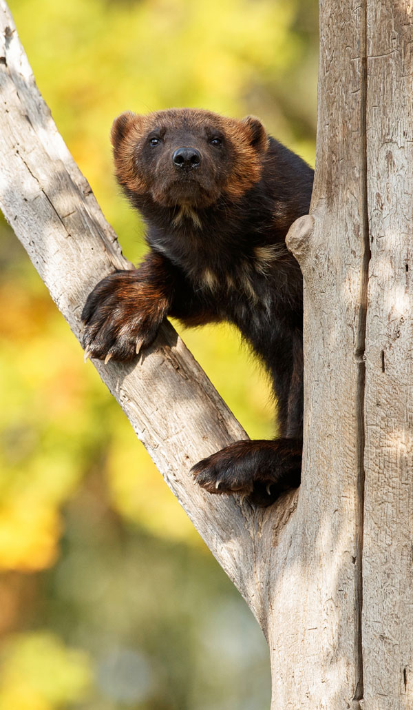 Symbolic Wolverine Meaning And Wolverine Totem On Whats Your Sign