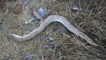 que-significa-sonar-serpiente-vibora-sin-cabeza