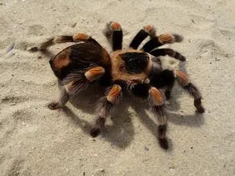 que-significa-sonar-con-tarantula