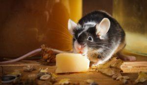 rato mordendo queijo
