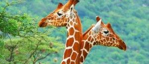 ▷ Sonhar com Girafa【Interpretações Reveladoras】