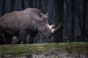 Significado de Soñar con un Rinoceronte