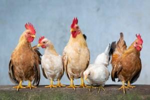 Significado de Soñar con Pollos
