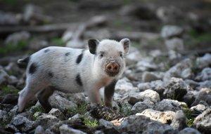Significado de Soñar con un Cerdo